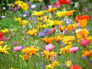 Fleurs des champs de fleurs multicolores de fleurs melange de semences d ete des pres - Fleurs des champs blanches ...