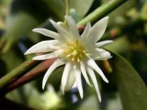 Fleur de badiane
