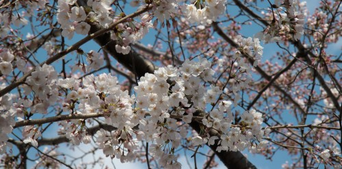 sakura-cerisiers-fleurs-japon